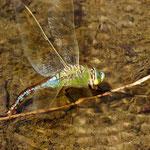 Die Große Königslibelle sicht ihre Eier in abgestorbene Pflanzenteile im Wasser ein.