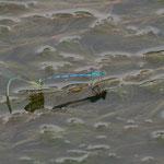 Bei der Pokal Azurjungfer erfolgt die Eiablage meist in Wasserpflanzen die sich nahe an der Wasseroberfläche befinden. Auch hier erfolgt die Eiablage im Tandem.