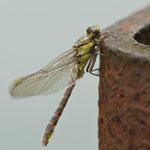 Danach trocknet die Libelle noch einige Zeit