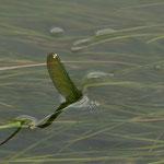 Die Gebänderte Prachtlibelle legt ihre Eier in flutende Wasserpflanzen. Hierbei taucht sie bis zu 20 Minuten unter die Wasseroberfläche.