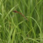 Das Paar der Blutroten Heidelibelle wirft mit schwingenden Bewegungen des Adomens die Eier im Uferbereich des Gewässers ab.