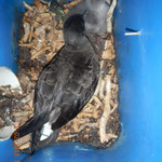Wedge-tailed shearwater with GPS deployment, with chick in artificial nest box