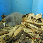 Shearwater chick in artificial nest box