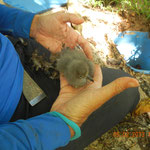 Very young shearwater chick