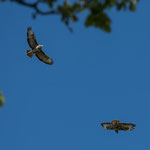 many birds of prey live in Luxembourg