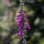 thimble plant