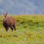 chamois at the Hohneck