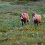 chamois feeling good in the vosges