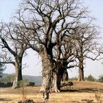 Affenbrotbäume bei Tiara