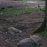 Wolfs-Gehege