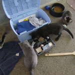 la boîte à outils intéresse les chatons
