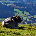 Kuh auf Bergwiese