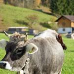 Eines unserer Rinder