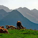 Kühe in den Allgäuer Alpen