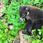 Nasenbär im Arenal National Park by Volker Abt
