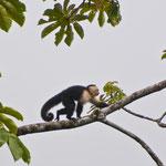 Kapuzineraffe im Arenal National Park by Volker Abt