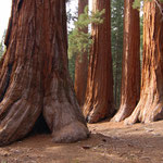 Sequoiah N. P., California by Volker Abt