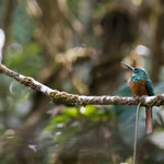 Eisvogel im Piedras Blanca National Park by Volker Abt