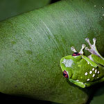 Rotaugenfrosch in Piedras Blanca National Park by Volker Abt