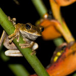 Frosch in Piedras Blanca National Park by Volker Abt
