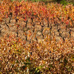 Vines in Autumn Colors