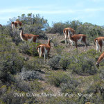 Vicuna Group - at Punta Tombo