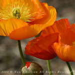 Coral Icelandic Poppies