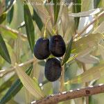 Olives - Le Monastère
