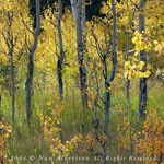 Yellowstone Quaking Aspen