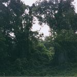 Ein imposantes Kudzufeld in Monticello