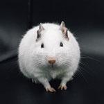 Degu Weiß / White