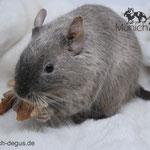 Degu Schoko / Chocolate