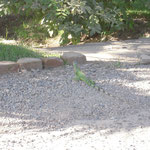 iguana on the road