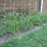 les tomates derrières le chalet