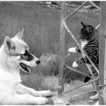 Grönland, Schlittenhund und Katze