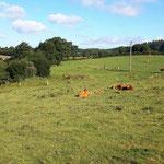 Zufriedene Kühe auf den Weiden
