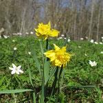 tatsächlich 2 Osterglocken blühen schon zur Begrüßung