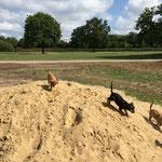 Lustig ist das Welpenleben! Sandrennen!! Wer zuerst beim Fressen ist!