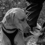 Foto: Karin Kuhn, Rettungshunde NÖ, Geruchsaufnahme Mantrailen