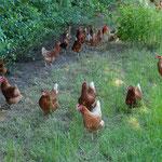 Freilauf für die Hühner