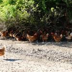 Wegen der Hitze halten sich die Hühner unter den Büschen auf.