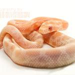 Mandarin Neonat mit Ringneck