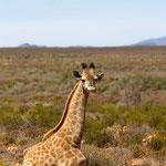 Giraffenkalb