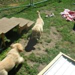 Jagd um ein Pansenstück- Bayla und Bina-
