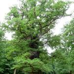 1000 Jahre alte Eiche im Ivenacker Naturpark