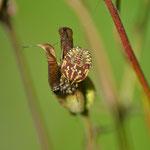 Purpur Fruchtwanze (Nymphe)
