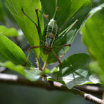 Laubholz-Säbelschrecke