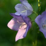 Pfirsichblättrige Glockenblume