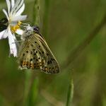 Brauner Feuerfalter (Schwefelvögelchen) | Männchen  2020