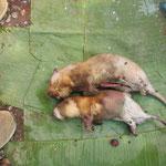 Tout se mange, même les rats